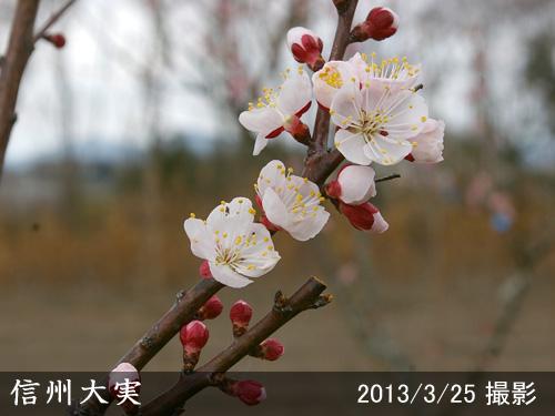 信州大実(しんしゅうおおみ)