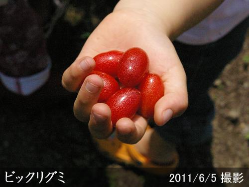 グミ(茱萸)ビックリグミ