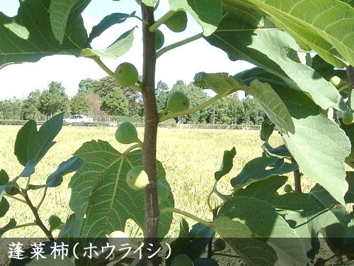 蓬莱柿(ホウライシ)
