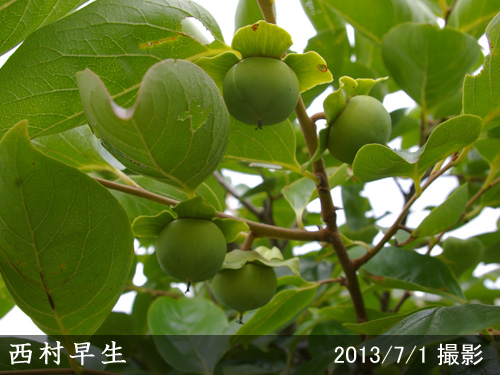 西村早生(にしむらわせ)
