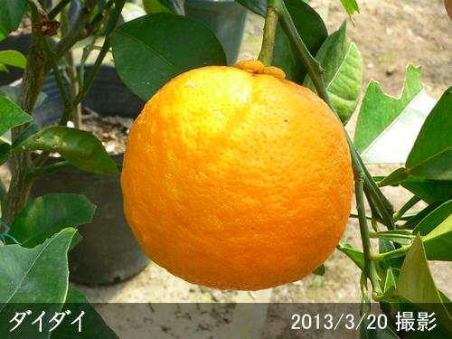 ダイダイ(橙)
