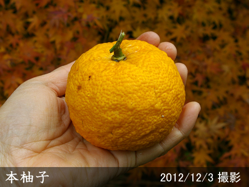 本柚子(ほんゆず)