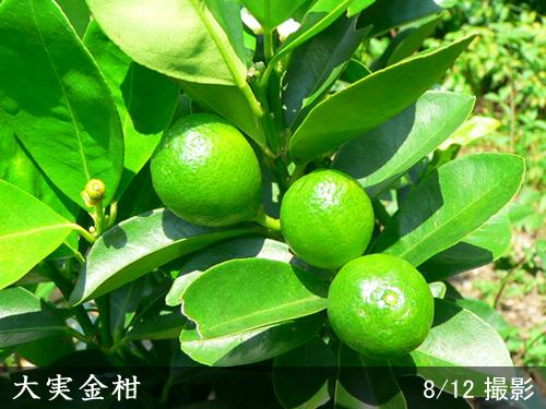 キンカン(大実金柑)