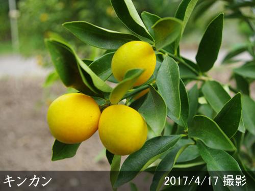 キンカン(金柑)