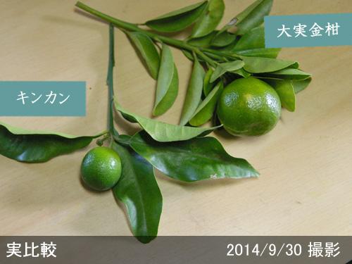 キンカン(金柑)と大実金柑