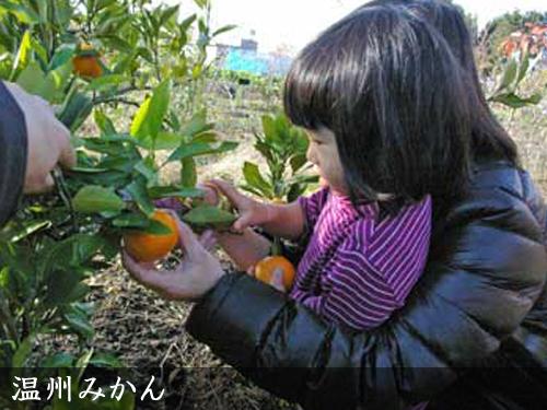 温州みかん宮川早生