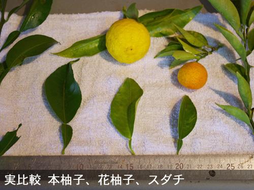 本柚子と花柚子とスダチ