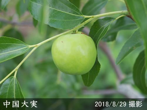 ナツメ中国大実