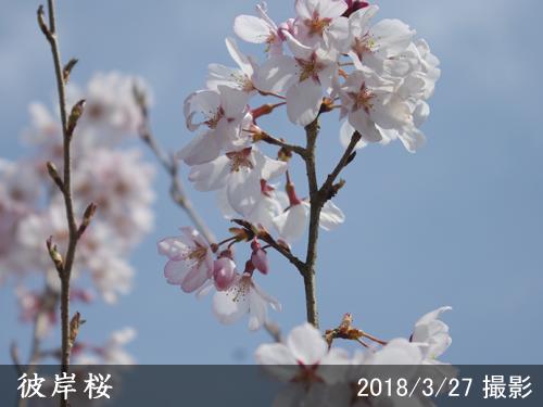 彼岸桜(ヒガンザクラ)