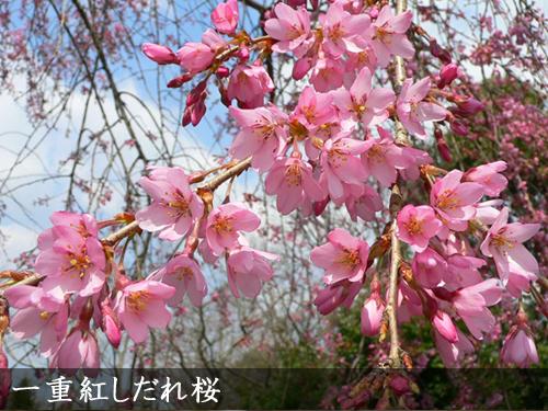 一重紅しだれ桜