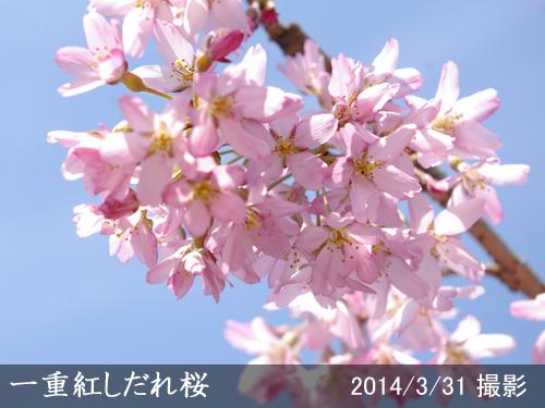 一重紅しだれ桜(ヒトエベニシダレザクラ)