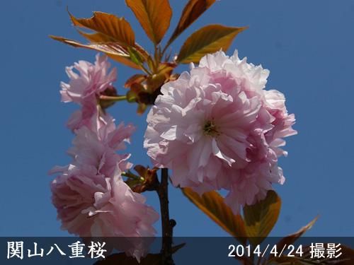 関山八重桜(カンザン八重桜)