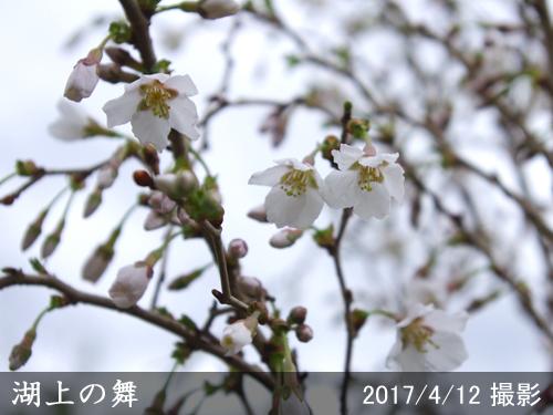 豆桜[湖上の舞](マメザクラ・コジョウノマイ)