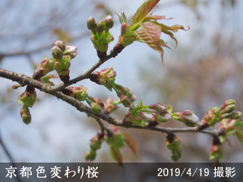 京都色変わり桜