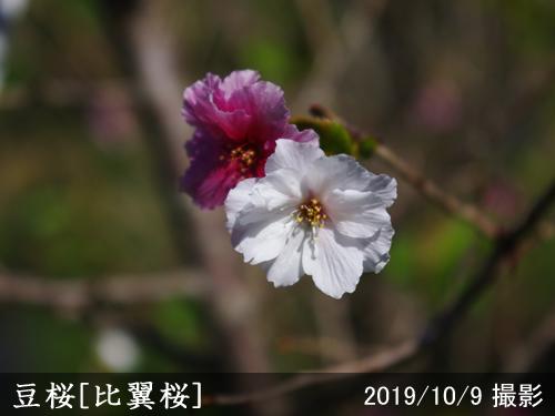 豆桜[比翼桜](マメザクラ・ヒヨクザクラ)