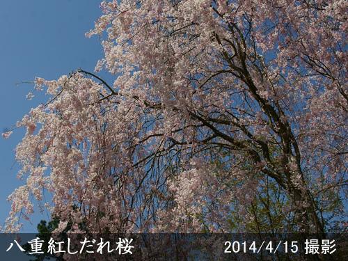 八重紅しだれ桜(ヤエベニシダレザクラ)