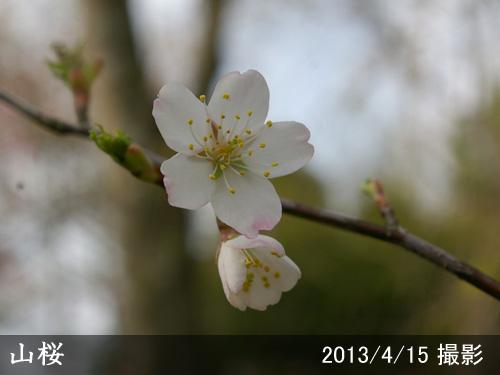 山桜(ヤマザクラ)