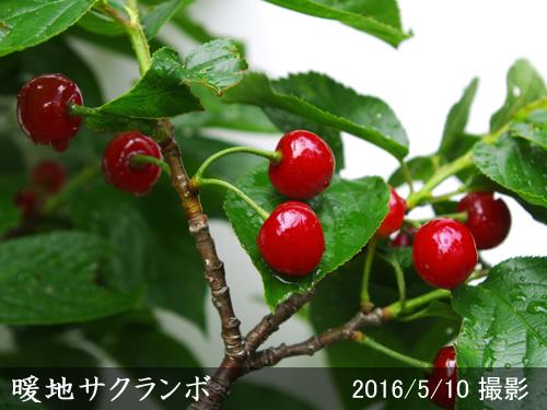 サクランボ(桜桃)暖地さくらんぼ
