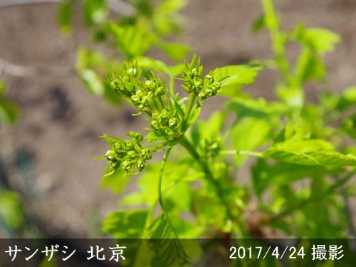 サンザシ(山査子) 北京
