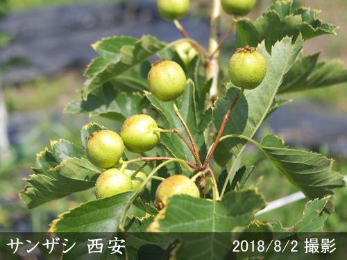 サンザシ(山査子) 西安
