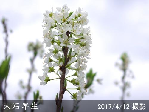 スモモ(李 プラム)大石早生(おおいしわせ)