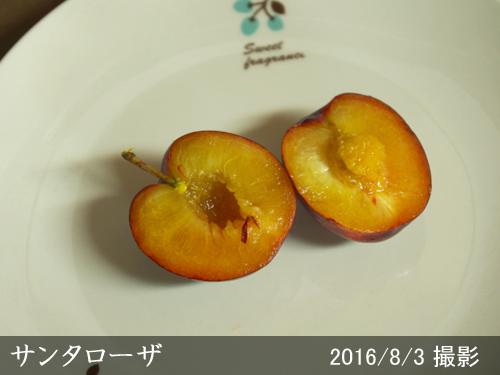 スモモ(李 プラム)サンタローザ
