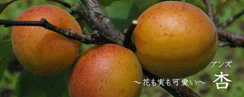 杏について