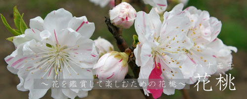 花桃について