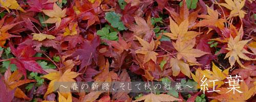 紅葉について